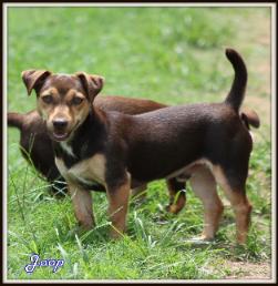 Joop, chocolate hunt terrier in the USA