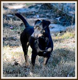 Matlock, a Black Male Hunt Terrier