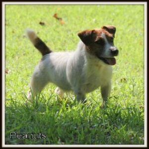 Peanuts, a Male Short Legged Jack Russell Terrier