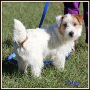 Long Haired Male Jack Russell Terrier named Scotty